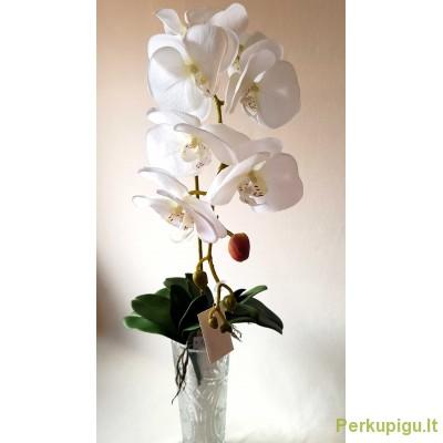 Orchidėjos šaka lateksinė vidutiniais žiedais, balta sp., 1900