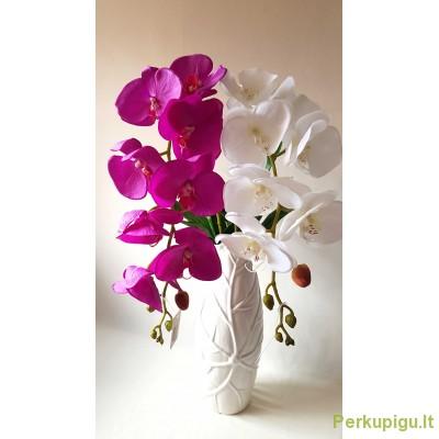 Orchidėjos šaka lateksinė vidutiniais žiedais, violetinė sp., 1900