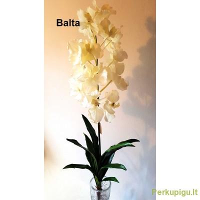 """Orchidėjos šaka latelsinė """"Dalia"""", balta sp., 1925"""