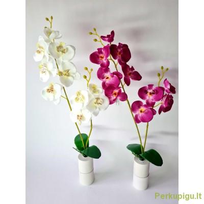 Orchidėja 2-jų šakų su lapais