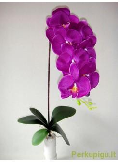Orchidėjos šaka tamsiai violetinė sp., 1694